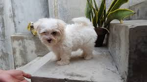 bichon frise for sale philippines maltese philippines home facebook