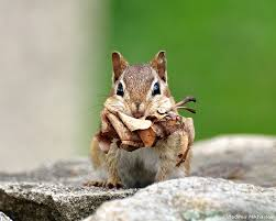 Massachusetts wildlife images Photo of the day chubby chipmunk the national wildlife jpg