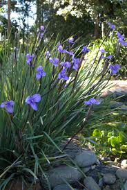 australian native plants brisbane patersonia sericea australian native plants pinterest native
