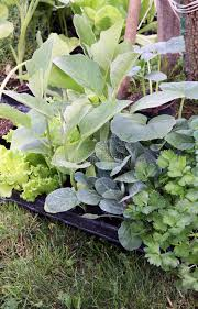 young vegetable plants on the garden stock photo image 43875984