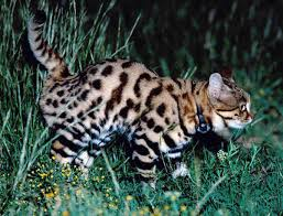 Cats Resume Black Footed Cat Research Findings Isec Canada