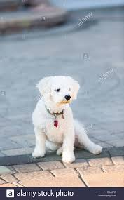 bichon frise funny bichon frise puppy sitting on her and looking at distance on