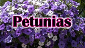 petunia flowers how to grow petunias flowers how to care and keep the petunia