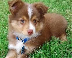 adopt a australian shepherd most adorable australian shepherd puppies pictures saveourpuppy com