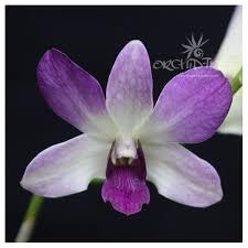 Dendrobium Orchid Dendrobium Orchids Orchid Tree Com