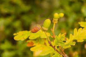 native hedging plants uk 10 quercus petraea sessile oak trees 2 3ft tall native to uk