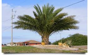 sylvester palm tree prices palm trees lehigh acres