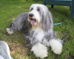 bearded collie mini 22 best bearded collie images on pinterest bearded collie