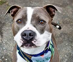 american pitbull terrier webbed feet pit bull archives rocket dog rescue