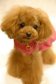 haircutsfordogs poodlemix poodle in the teddy bear cut so cute she looks fake thanks for
