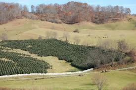 go green with a real christmas tree hart t tree farms