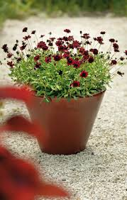 Fragrant Plants For Indoors Best Chocolate Scented Flowers Plants And Flowers That Smell