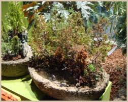 try your hand at bonsai no expertise required dave u0027s garden
