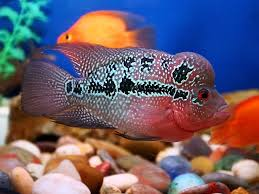 there are all kinds of flowerhorn fishies rainbow ones splotchy