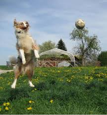 problems with australian shepherds australian shepherd dog information for owners