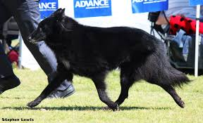 belgian sheepdog national specialty 2014 bea u2013 beljekali