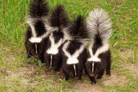 How To Get Rid Of A Skunk In Your Backyard How To Get Rid Of Skunk Smell Best Skunk Spray Removers Up To 10