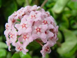 pink star shaped flowers scent of the flower but i love the star