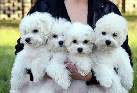 bichon frise therapy dog 10 dog breeds that are overwhelmingly affectionate