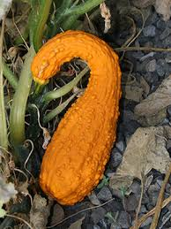 ornamental gourds gardening solutions of florida