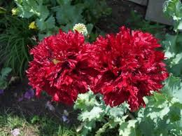 Flower Seeds Online - amazon com 100 giant double red peony poppy papaver peoniflorum