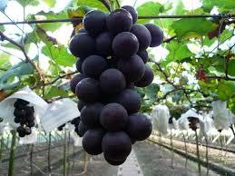 how to grow kyoho grapes ebay