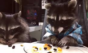 a raccoon dresses like a human for dinner in russia daily mail