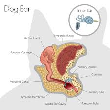 belgian shepherd ear problems this is the 1 most common reason dogs see the vet is your pup at