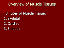 Anatomy And Physiology The Muscular System The Muscular System Anatomy U0026 Physiology Overview Of Muscle