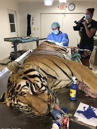 vet who performs life saving operations on big cats daily mail