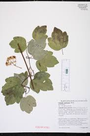 Fragrant Plants Florida - clematis catesbyana species page isb atlas of florida plants