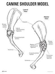 Dog Anatomy Front Leg Canine Shoulder Model 9075 For Sale Anatomy Now