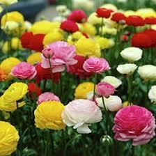 ranunculus flower ranunculus buttercup flower bulbs american