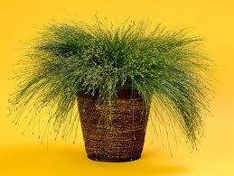 graceful grasses fiber optic grass isolepsis scirpus cernus