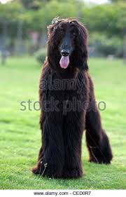 afghan hound group afghan hound black stock photos u0026 afghan hound black stock images