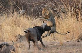 group buffalo vs lion a terrible fight to death animals