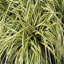 ornament beautiful ornamental grass care pruning evergold