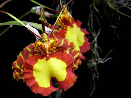 the beautiful butterfly orchid kuriositas