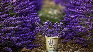 fiori viola sfondi profondit罌 di co giardino fiorire secchio fiori