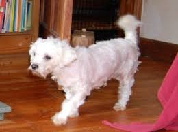 bichon frise years doris u2013 4 6 year old female bichon frise dog for adoption