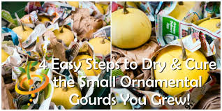 4 easy steps to cure the small ornamental gourds you grew