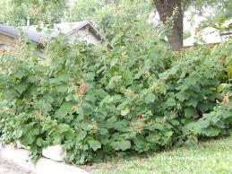 Turks Cap Texas Native Plant Week Turk U0027s Cap Malvaviscus Arboreus My
