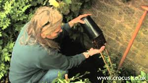 how to plant a clematis youtube