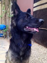 belgian shepherd skin problems are satin balls safe to give german shepherd dog forums