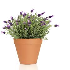 Flower Pot Potted Lavender Care U2013 How To Grow Lavender In Containers