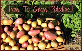 how to grow potatoes from eye to harvest it u0027s so easy