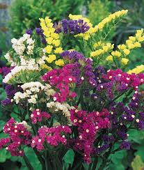 statice flowers mixed bold colors statice seeds and plants growing herb gardens