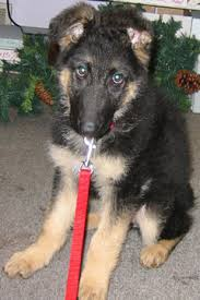 belgian shepherd 4 months gsd development an illustrated guide to the first year