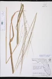 urochloa maxima species page isb atlas of florida plants