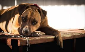 boxer puppy halloween costumes 24 dog breeds that get a bad rap from irresponsible humans